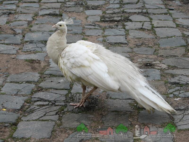 Фото белого павлина