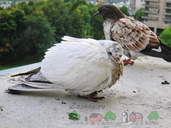 Фото больного голубя на улице