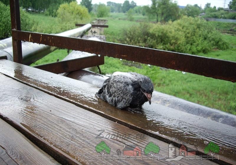 Фото больного голубя