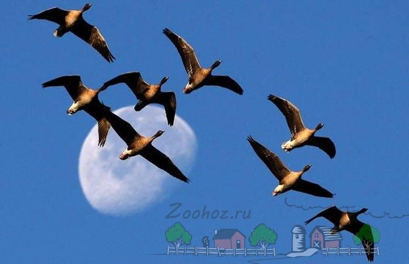 Виды и породы гусей с фото и описанием: разновидности диких и домашних птиц для разведения