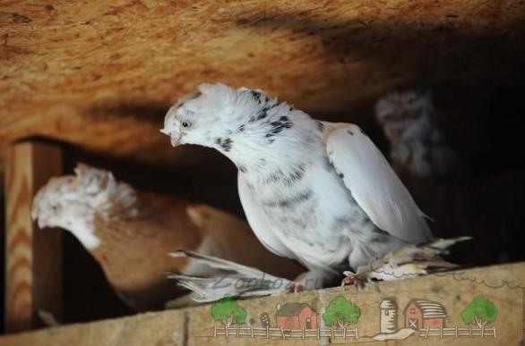 Фото породистых голубей