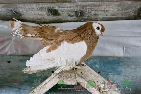 Фото домашнего породистого голубя