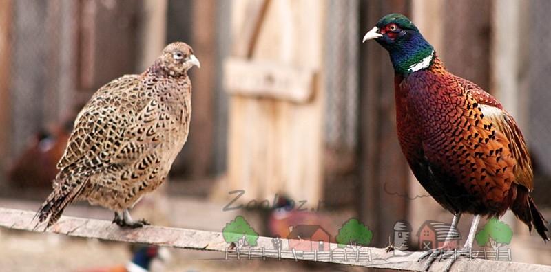 Фото фазанов на ветке