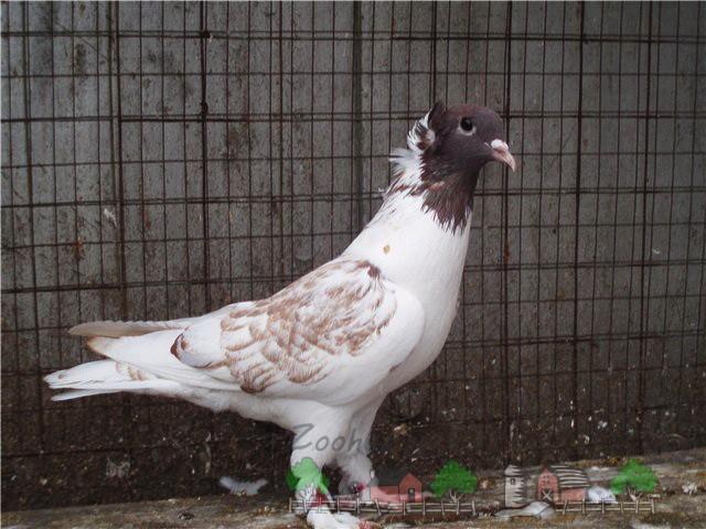 Фото голубя породы кавминводская головатая щекатая