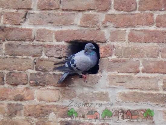 Фото голубя на стене
