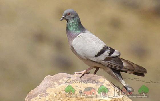 Фото серого голубя