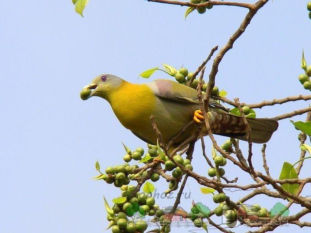 Фото дикого голубя