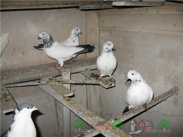 Фото пакистанских птиц в птичнике