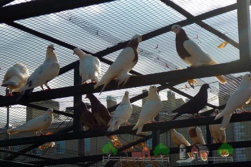 Фото голубей в голубятне