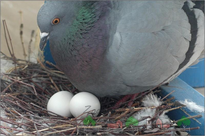 Фото самки с яйцами в гнезде