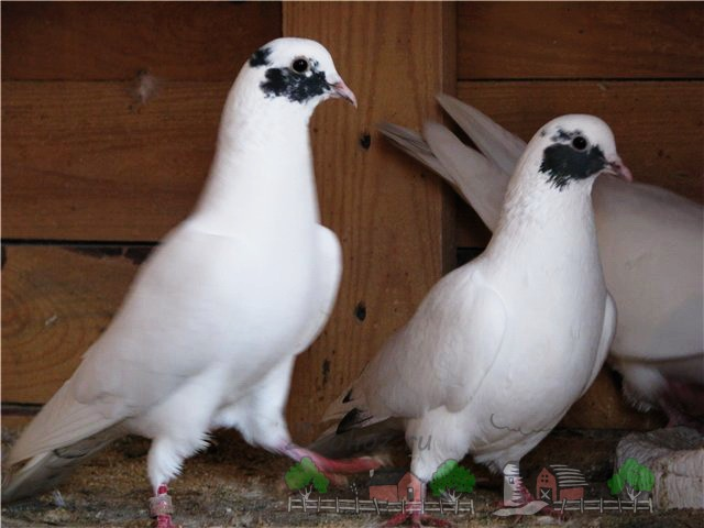 Фото пары кавминводских голубей