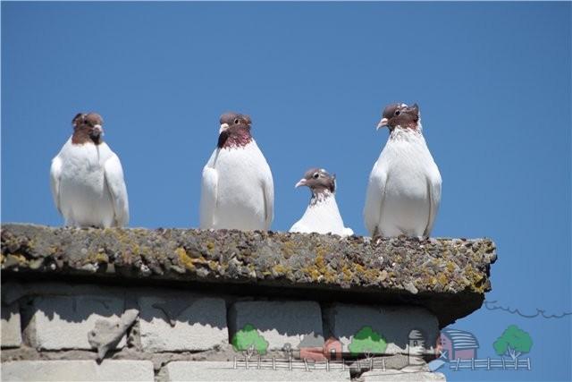 Фото головатых щекатых голубей на крыше