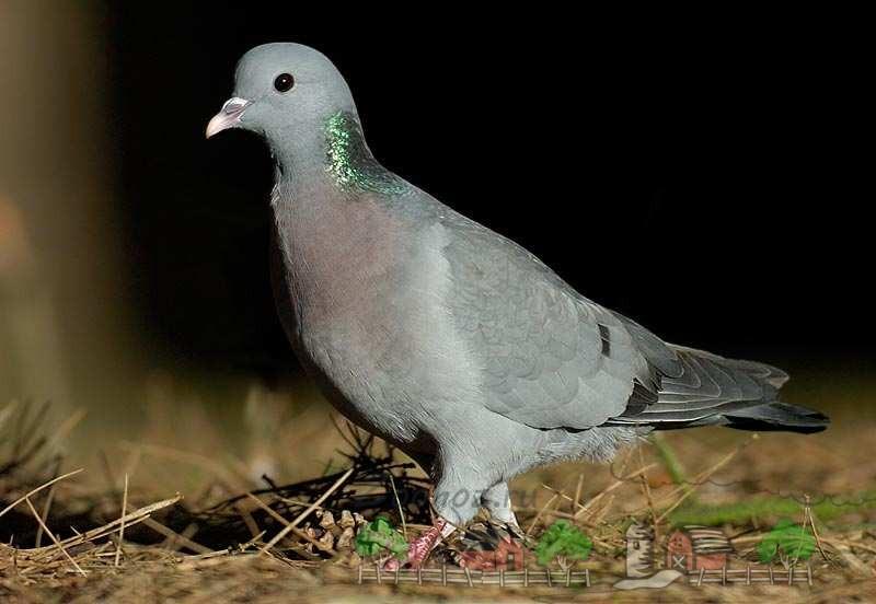 Виды и породы голубей: фото с названиями разновидностей птиц