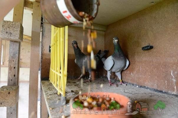 Фото кормления домашних птиц