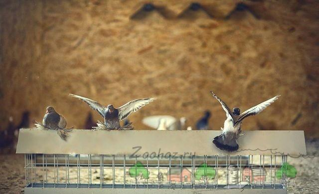 Фото голубей возле кормушки