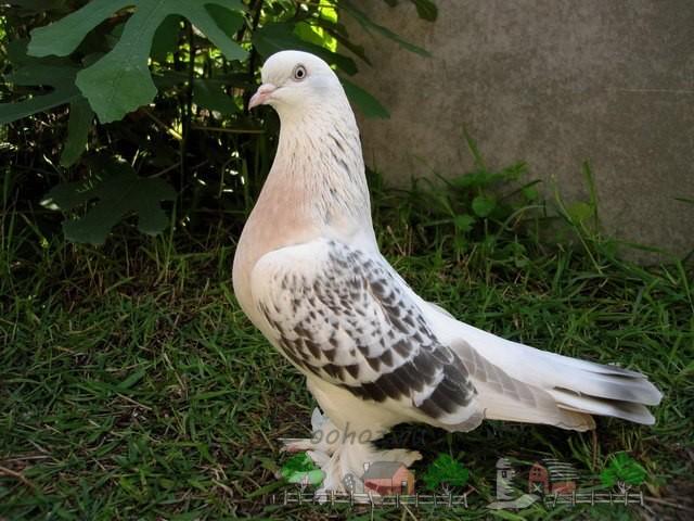 Фото турецкого бойного голубя
