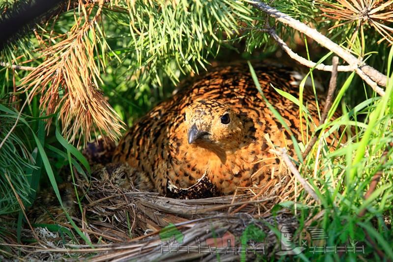 Фото куропатки в гнезде