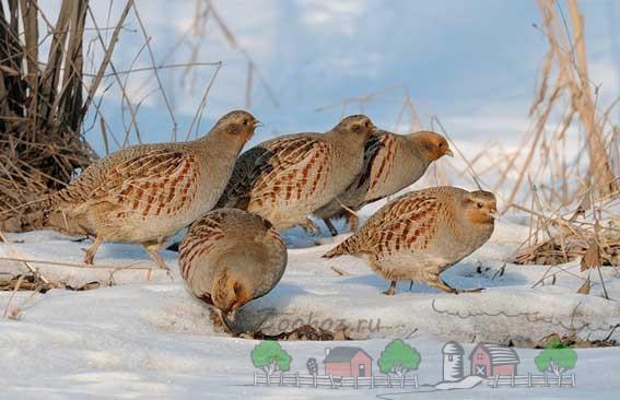 Фото птиц, которые ищут еду в снегу