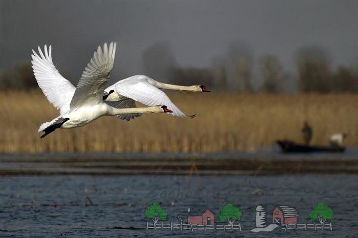 Фото лебедей над водой