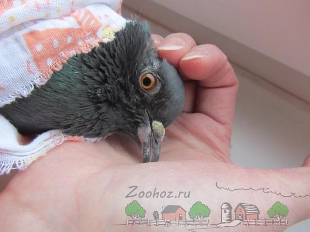 Фото больного оспой голубя на ранней стадии