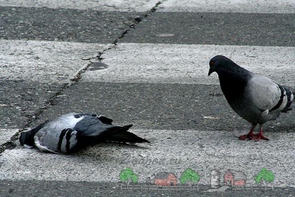 Фото умершего городского голубя