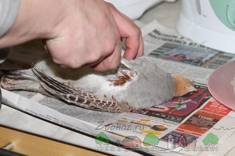 Фото ощипывания куропатки