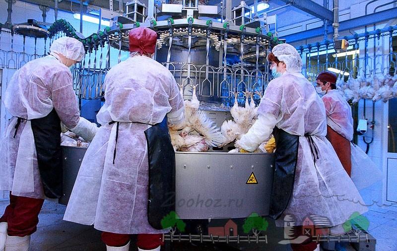 Фото того, как на птицефабрике очищают перья птиц
