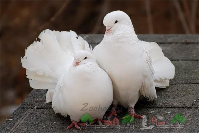 Фото пары голубей