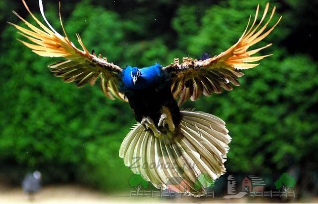 Умеют ли летать павлины: полезные факты и фото обзор