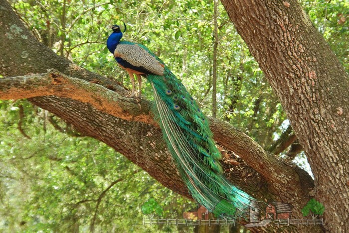 Фото самца павлина на дереве