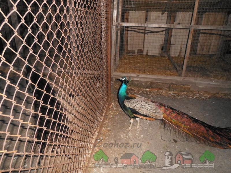 Фото павлина в закрытом вольере