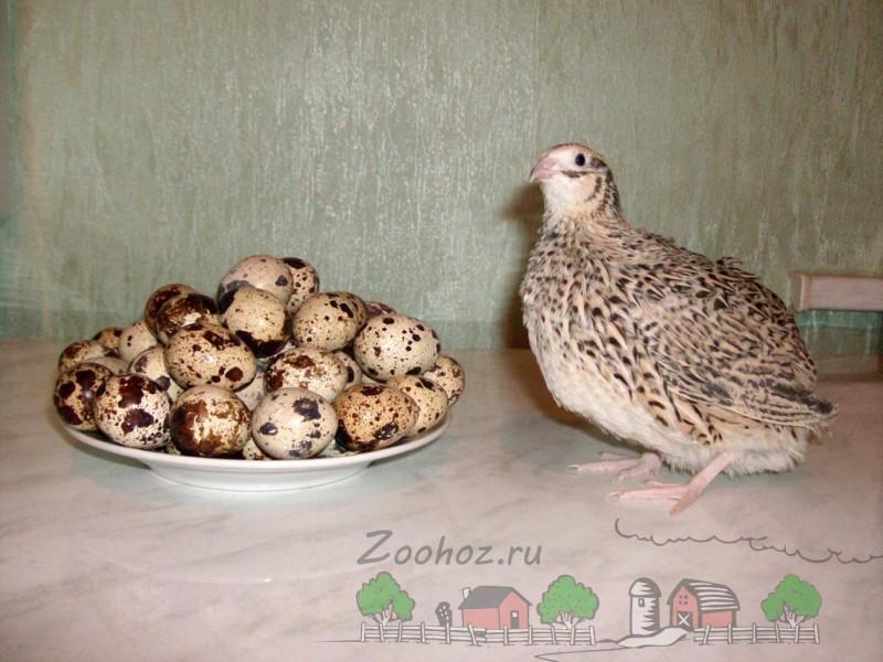 Фото перепелки с яйцами