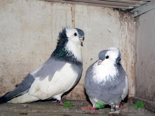 Фото пары серых голубей