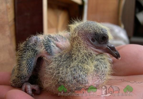 Фото птенца голубя