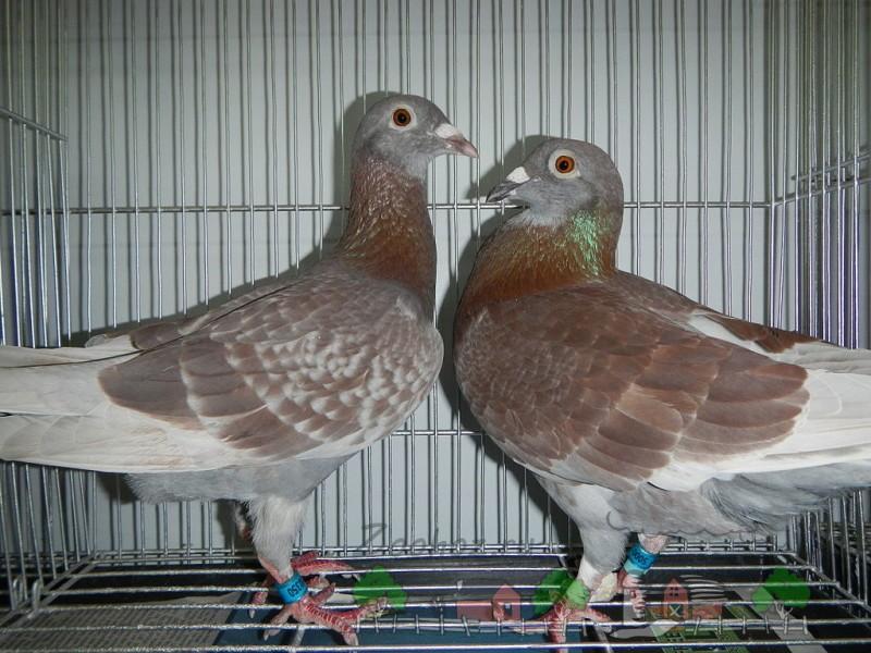 Фото половозрелых птиц