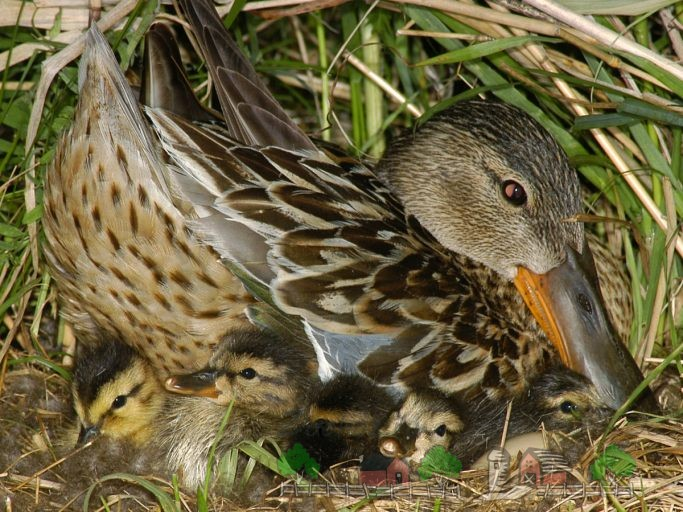 Фото утки в гнезде с утятами
