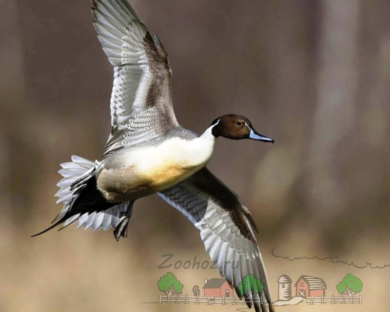 Фото летящего самца шилохвость