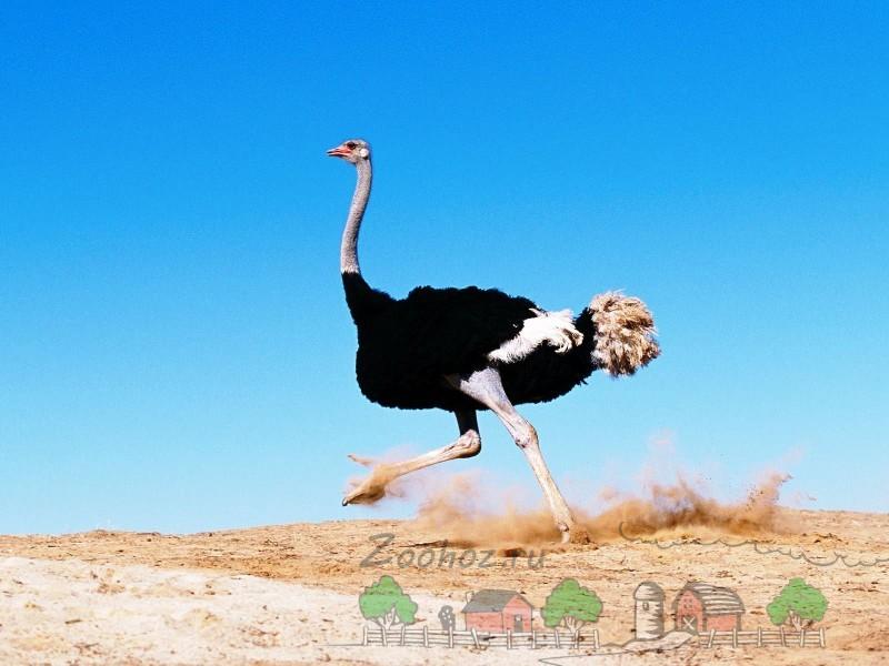Фото бегущей по песку птицы