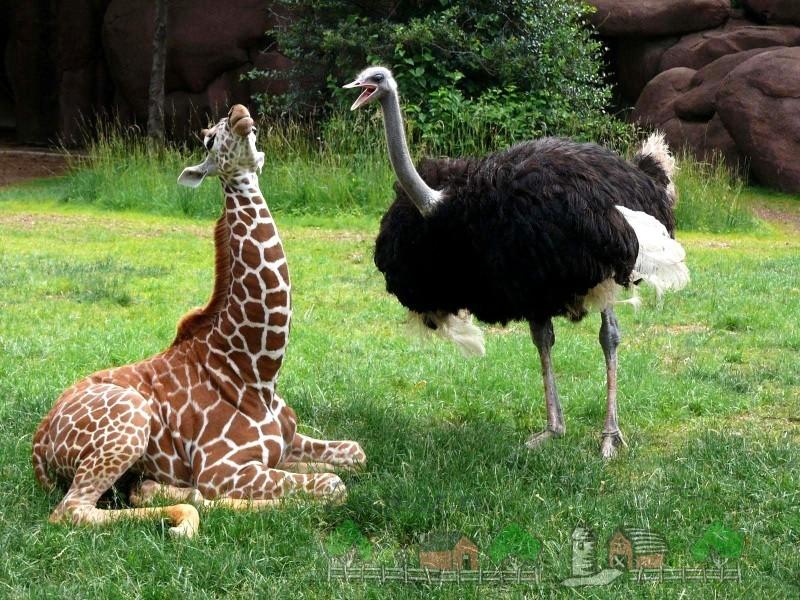 Страус это птица или животное: фото и видео обзор