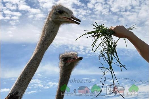 Фото страусов, которые едят траву