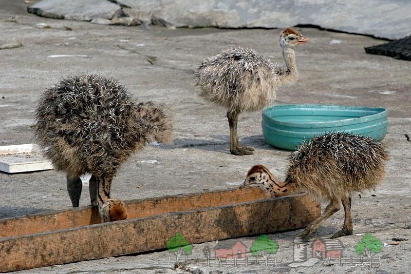 Фото страусят, которые едят с кормушки