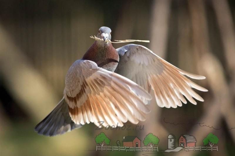 Фото голубя, который несет ветку в гнездо