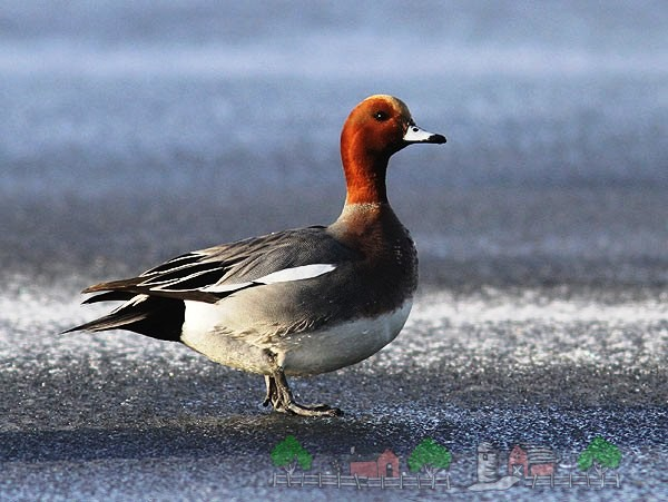 Фото утки свиязь на берегу