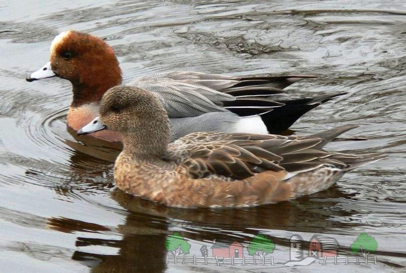 Фото самки и самца свиязь в воде