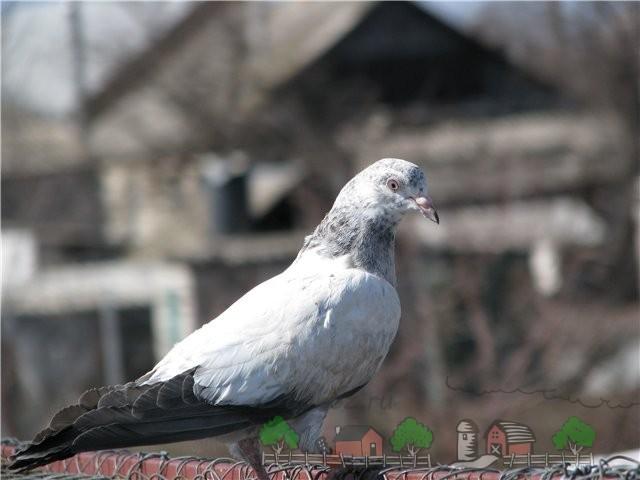 Фото голубя пакистанской породы