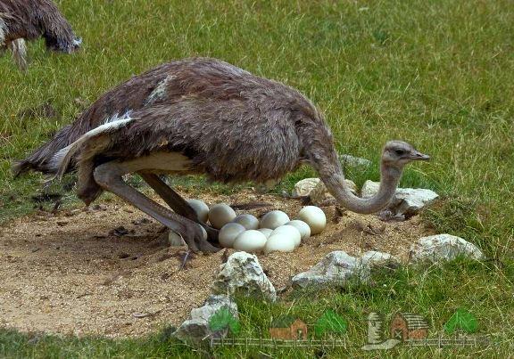 Фото самца с яйцами в гнезде