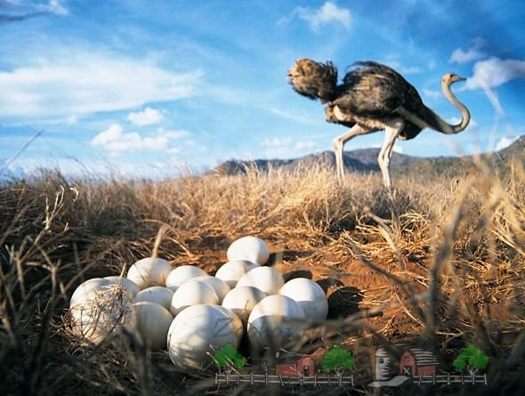Фото страусиных яиц в кладке