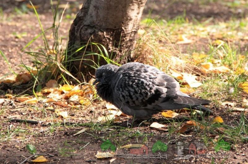 Фото больного голубя в парке