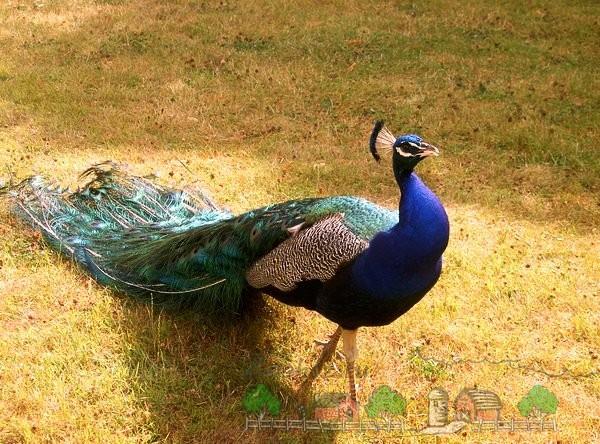 Фото самца райской птицы
