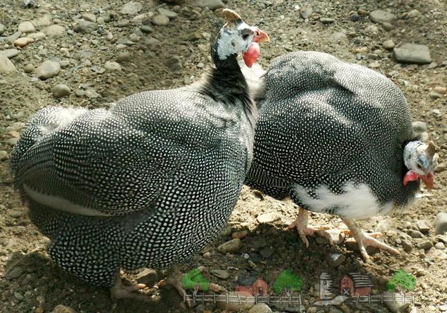 Фараонская курица
